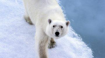 Arktis- smältande isar, isbjörnar på drift och geopolitisk dragkamp om naturresurser